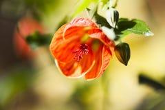 Abutilon arancio Fotografia Stock