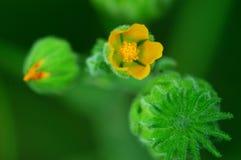 Abutilon avicennae und gelbe Blumen Lizenzfreie Stockfotos