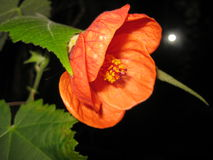 Abutilon Flower Stock Photo