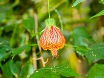 Abutilon hybridum CHINESISCHE LATERNE, die bunte Blume hängt Stockbilder