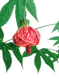 Abutilon hybridum Royalty Free Stock Photos
