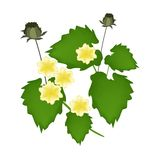 Abutilon Indicum Flower or Indian Mallow Flower Royalty Free Stock Photo