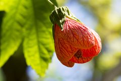 Abutilon Pictum aka Red Vein Indian Mallow, Chinese Lantern. Single Abutilon Pictum aka Red Vein Indian Mallow, Chinese Lantern flower growing in it`s natural Stock Images