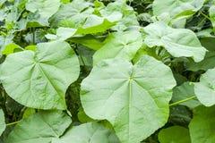 Abutilon Theophrastii Anlage mit weichen Blättern Lizenzfreie Stockfotografie
