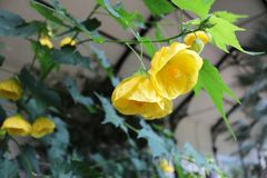 Abutilon yellow flower canary bird. Yellow flowering abutilon canary bird royalty free stock photo