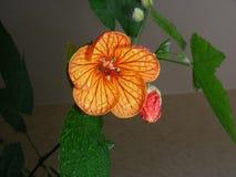 Abutilonblume im schattierten Raum, Glanz mit solcher Aufmerksamkeit Stockbild