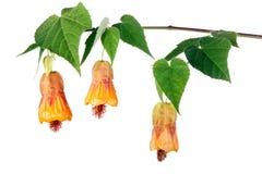 Abutilonblumen Stockbild