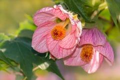 Abutilonblumen in der Blüte Stockbilder