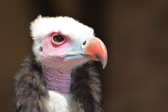 abutre Branco-dirigido (occipitalis de Trigonoceps) Imagens de Stock Royalty Free