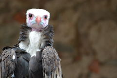 abutre Branco-dirigido (occipitalis de Trigonoceps) Foto de Stock