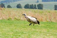 Abutre de dorso branco na grama verde Fotografia de Stock