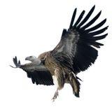 Abutre de Griffon - fulvus dos Gyps Imagens de Stock