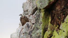 Abutre de Griffon de ondulação em cima de Salto del Gitano, Espanha video estoque