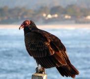 Abutre de Turquia Foto de Stock Royalty Free