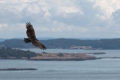 Abutre de turquia em vôo Fotos de Stock