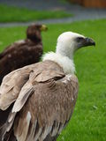 Abutre do grifo com águia do estepe Foto de Stock