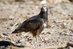 abutre do SCAVENGER fotos de stock royalty free