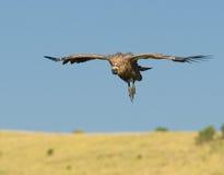 Abutre do vôo, masai mara, kenya imagens de stock