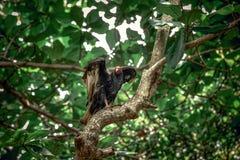 Abutre nas árvores Imagem de Stock