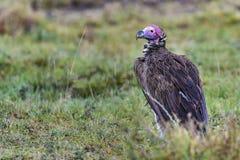 Abutre no Masai Mara foto de stock