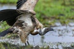 Abutre no Masai Mara fotografia de stock
