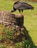 abutre preto empoleirado no tronco de árvore fotografia de stock royalty free