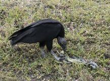 Abutre preto que come a carcaça da iguana Fotografia de Stock Royalty Free