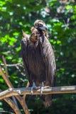 Abutre que senta-se em um ramo, planeta animal Imagens de Stock