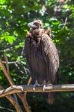 Abutre que senta-se em um ramo, planeta animal Imagem de Stock Royalty Free