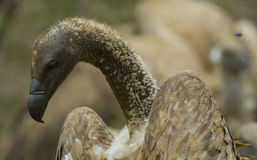 Abutre suportado branco - parque nacional de Kruger Foto de Stock