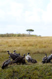 Abutres Foto de Stock