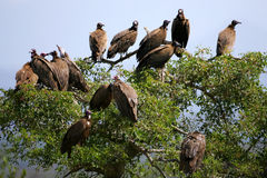 Abutres africanos Fotos de Stock Royalty Free