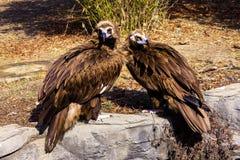 Abutres Cinereous Fotografia de Stock Royalty Free