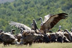 Abutres de Griffon Fotos de Stock Royalty Free