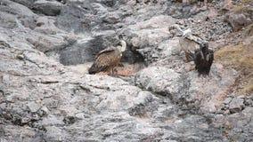 Abutres de Griffon e abutre Cinereous nas montanhas de Crimeia filme