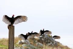 Abutres de Turquia Imagem de Stock