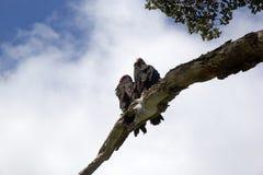 Abutres de turquia na árvore em Tierra del Fuego, Patagonia, Argentina Fotografia de Stock Royalty Free