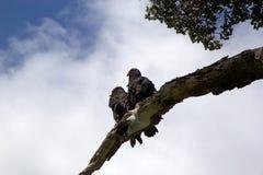 Abutres de turquia na árvore em Tierra del Fuego, Patagonia, Argentina Imagens de Stock Royalty Free