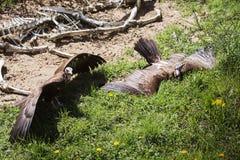 Abutres e cadáver Imagens de Stock Royalty Free