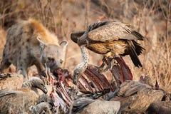 Abutres e hiena Foto de Stock