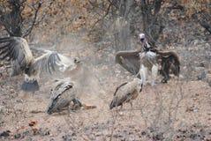 Abutres e Springbuck Fotografia de Stock