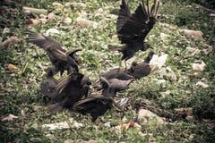 Abutres em nossa negligência Fotografia de Stock Royalty Free