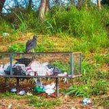 Abutres em um balde do lixo Fotografia de Stock Royalty Free