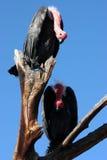 Abutres em uma árvore Imagem de Stock Royalty Free