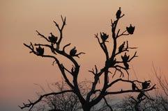 Abutres em uma árvore inoperante mostrada em silhueta contra o céu da noite Fotografia de Stock