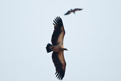 Abutres em voo Fotografia de Stock Royalty Free