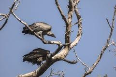 Abutres na árvore Imagens de Stock