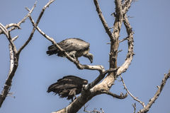 Abutres na árvore Imagens de Stock Royalty Free