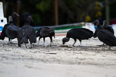 Abutres na praia Fotografia de Stock Royalty Free