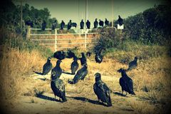 Abutres pretos Fotografia de Stock Royalty Free